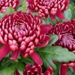 Hoa cúc quốc hoa Nhật Bản