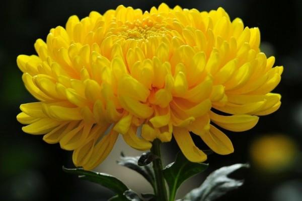 Hoa cúc quốc hoa của