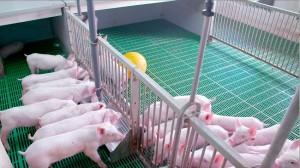 Chăn nuôi lợn tại Tokyo